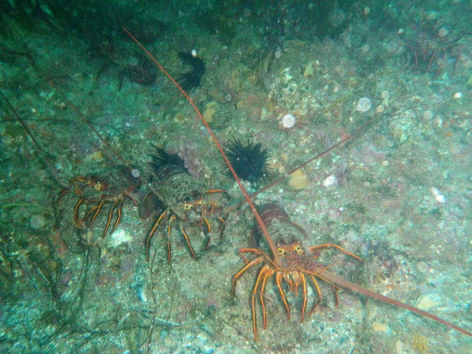 Lobsters underwater.