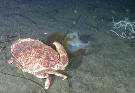 Crab eating a dead jellyfish