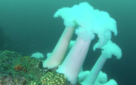 Metridium anemones
