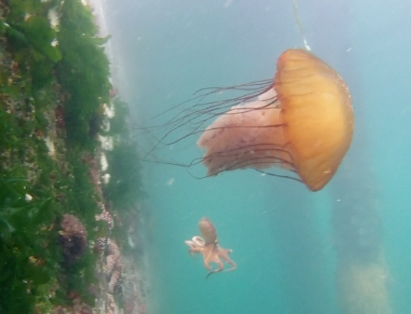 Image of a sea nettle jellyfish and small octopus
