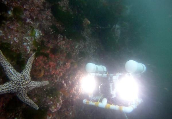 Image of a Catalina ROV examining an Ochre sea star