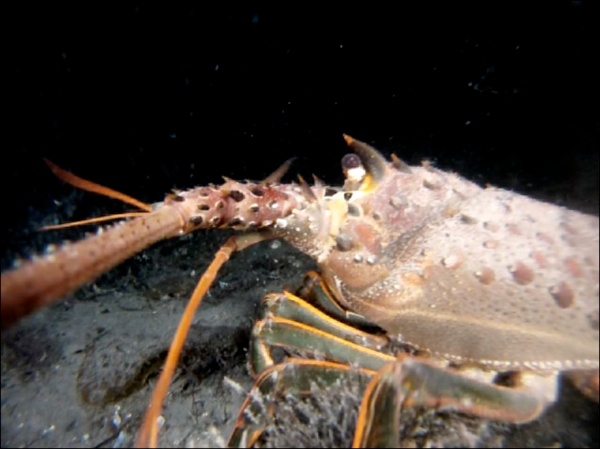 Image of a nocturnal spiny lobster