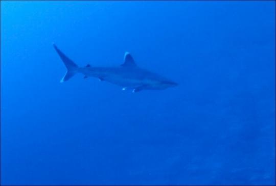 Silvertip shark underwater
