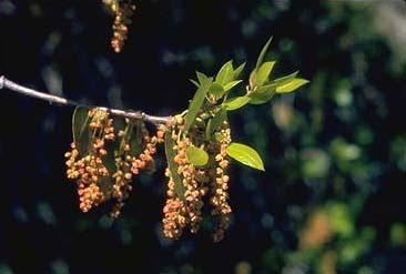 Quercus chrysolepis (canyon)