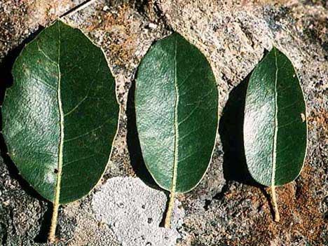 Quercus wislizeni (interior)